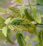 绿色蟋蟀 免版税库存图片