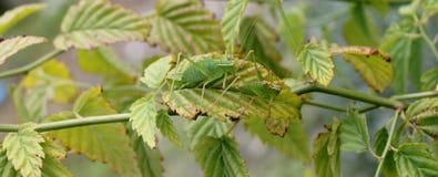 绿色蟋蟀 库存图片