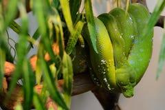 绿色蟒蛇 图库摄影