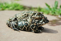 绿色蟾蜍(Bufo viridis) 库存图片