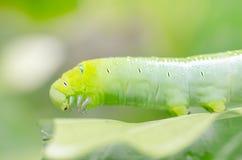 绿色蠕虫和叶子 库存照片