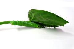 绿色蠕虫 免版税图库摄影