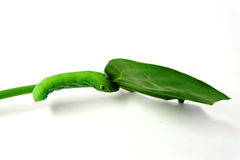 绿色蠕虫 图库摄影