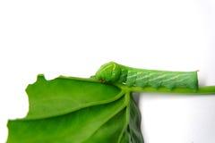 绿色蠕虫 免版税库存照片