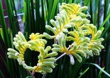 黄色袋鼠爪子(澳大利亚野花- Anigozanthos pulche 库存图片