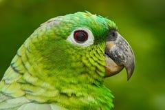 黄色被加冠的亚马逊,亚马逊ochrocephala auropalliata,浅绿色的鹦鹉,哥斯达黎加画象  细节特写镜头画象  库存照片
