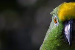 黄色被加冠的亚马逊 图库摄影