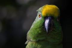黄色被加冠的亚马逊 免版税库存图片