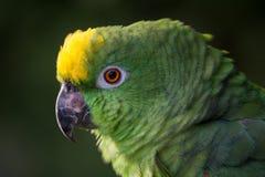 黄色被加冠的亚马逊 免版税库存照片