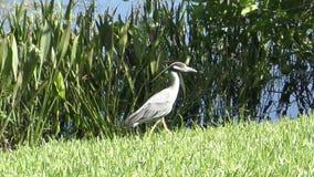 黄色被加冠的夜鹭属在佛罗里达 股票录像