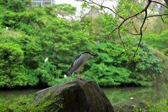 黑色被加冠的夜鹭属在公园 库存图片
