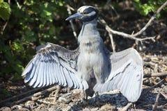黄色被加冠的夜鹭属在加拉帕戈斯群岛 免版税图库摄影
