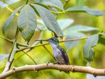 绿色被加冠的精采蜂鸟 库存照片