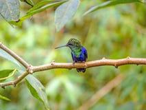 绿色被加冠的精采蜂鸟 免版税库存图片