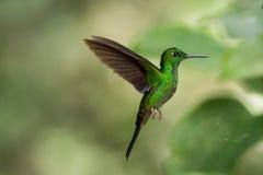 绿色被加冠的精采蜂鸟 免版税库存照片