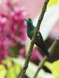 绿色被加冠的精采蜂鸟 库存图片