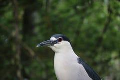 黑色被加冠的苍鹭晚上 免版税库存照片