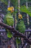 黄色被加冠的绿色亚马逊鹦鹉在普埃尔托德拉克鲁斯,圣诞老人C 免版税库存图片