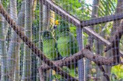黄色被加冠的绿色亚马逊鹦鹉在普埃尔托德拉克鲁斯,圣诞老人C 库存照片