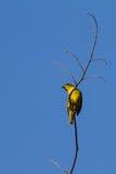 黄色被加冠的Euphonia (女性) 免版税库存图片