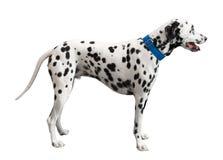 黑色被察觉的达尔马提亚狗 库存照片