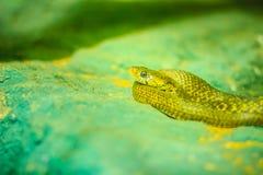 黄色被察觉的keelback蛇(Xenochrophis sanctijohanis) Xeno 免版税库存照片
