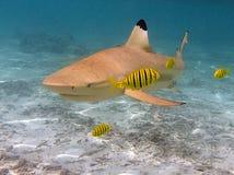 黑色被打翻的礁石鲨鱼 免版税库存照片