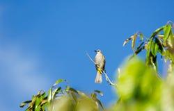 黄色被放气的歌手鸟 免版税库存图片