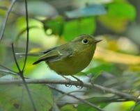 黄色被放气的鸣鸟(Phylloscopus cantator) 免版税库存照片