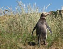 黄色被注视的企鹅在它象草的栖所 免版税图库摄影