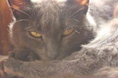 黄色被注视的猫 免版税库存图片