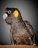 黄色被盯梢的美冠鹦鹉 库存照片