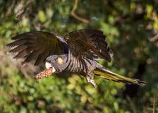 黄色被盯梢的黑美冠鹦鹉 免版税库存照片