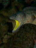黄色装腔作势地说的海鳝 库存照片