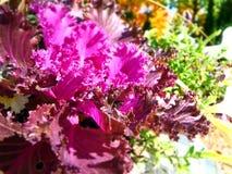 紫色装饰圆白菜植物特写镜头  免版税库存图片