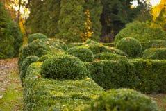 绿色装饰灌木在城市公园 免版税库存照片