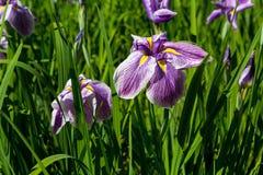 紫色西伯利亚虹膜在绽放背景中 库存图片