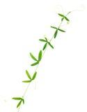绿色西番莲卷须特写镜头在白色被隔绝 免版税库存图片