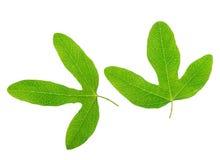 绿色西番莲叶子特写镜头在白色backgrou被隔绝 库存图片