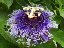 紫色西番莲 免版税库存图片