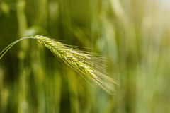 绿色谷物 免版税图库摄影