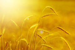 黄色谷物 图库摄影
