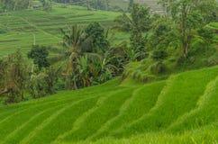 绿色豪华的米领域和棕榈 免版税库存照片
