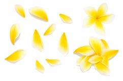 黄色赤素馨花花设置了与在白色背景的瓣从不同的角度 库存照片