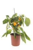 黄色辣椒粉植物 免版税库存图片