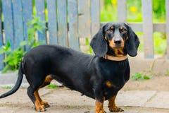 黑色达克斯猎犬 一条成人狗 年龄2年 库存照片