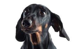黑色达克斯猎犬 库存图片