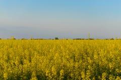 黄色进展的领域 图库摄影