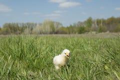黄色迷人的鸡 库存图片