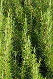 绿色迷迭香在南意大利 免版税图库摄影